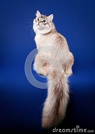 Young siberian cat
