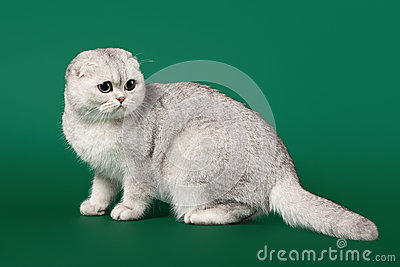 Young silver british kitten