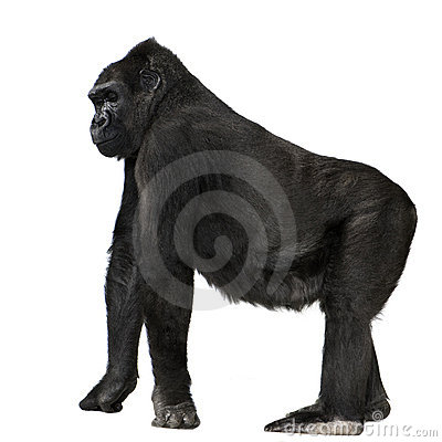Free Young Silverback Gorilla Stock Photos - 3683993
