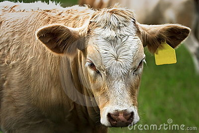 Young Simmental bull with yellow ear tag