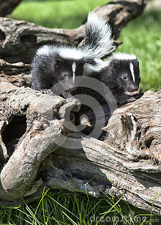 Free Young Skunk Pair Royalty Free Stock Images - 31927239