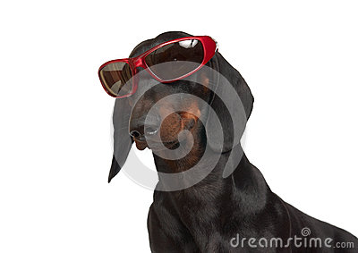 Young smooth black and tan dachshund in red rimmed sunglasses