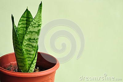 Young Snake Plant