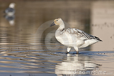 Young snow geese