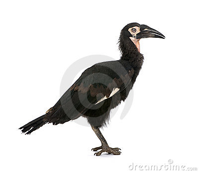 Young Southern Ground-hornbill - Bucorvus leadbeat