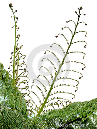 Young spring fronds of silver tree fern on white