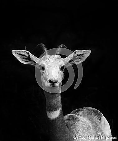 Free Young Springbok Portrait Stock Image - 113960071