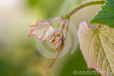 Young sprout of grapes. Vineyard buds in spring