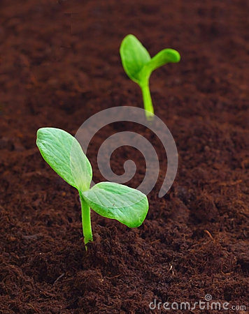 Young sprout in the ground