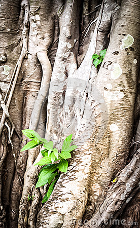 Free Young Sprout Growing Through Roots Of Old Tree. Royalty Free Stock Photo - 31122555