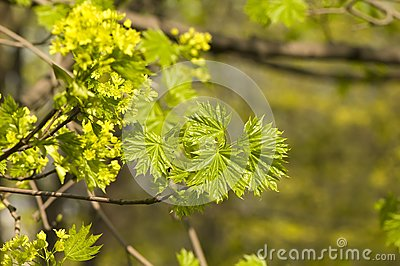 Young sprout of maple
