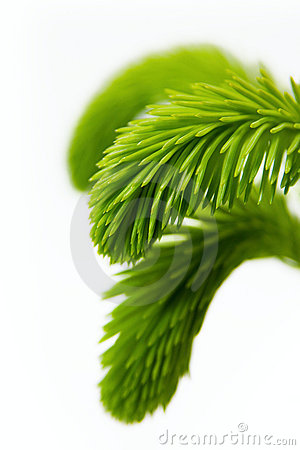 Young spruce branch