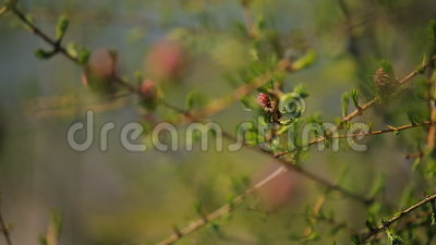 Young spruce buds bloom on branch of a coniferous tree closeup. Zoom camera smoothly moves from one twig to another. First on a large branch can be seen two stock footage