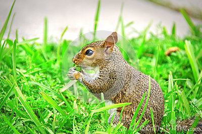 Young squirrel sitting in the grass eating