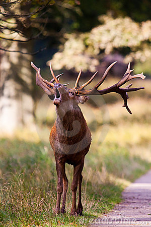 Young stag roaring