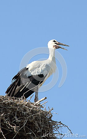 Young Stork in The Nest