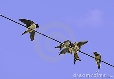 Young swallows being fed - hirundo rustica