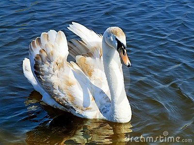 Young Swan Royalty Free Stock Photo - Image: 12164825