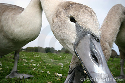 Young Swan or Cygnet