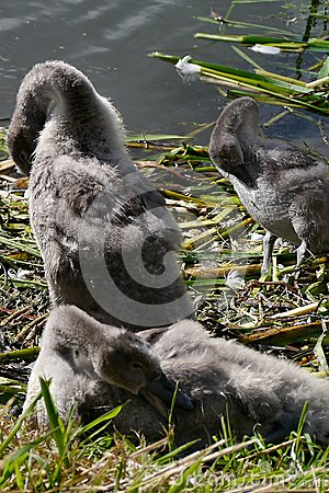 Young swans at nesting site