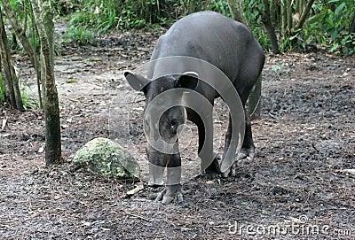 Young Tapir