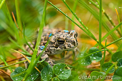 Young toad in the grass