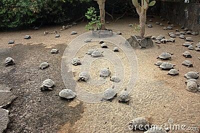 Young tortoises farm, Galapagos.