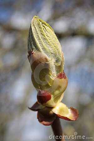 Free Young Tree Leaf Bud Stock Photo - 5240050