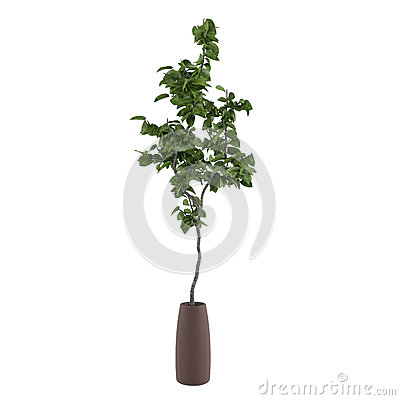 Young tree in the pot isolated