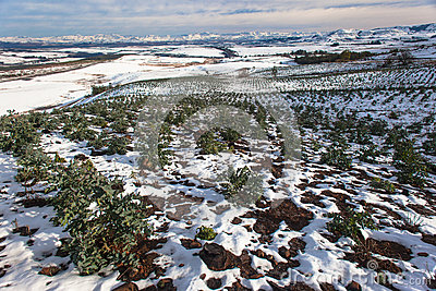 Young Trees Snow Landscape