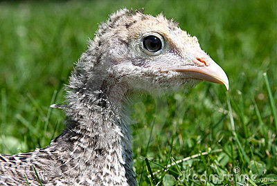 Young Turkey