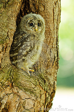 An young Ural Owl Stock Photo