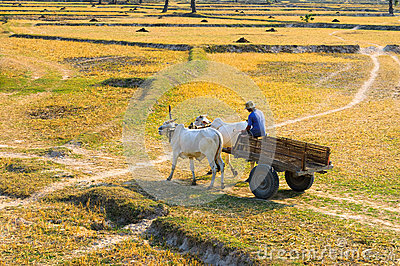 Young Vietnamese farmer on the way to his farm Editorial Stock Photo