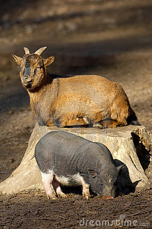 Young vietnamese pig and goat