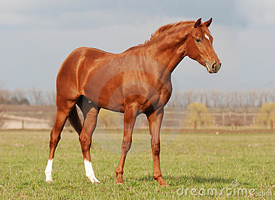 Young warm blood stallion in the spring sunlight