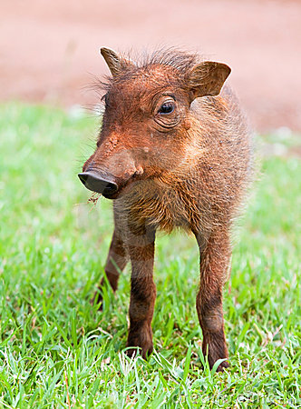 Free Young Warthog Royalty Free Stock Photography - 13323877