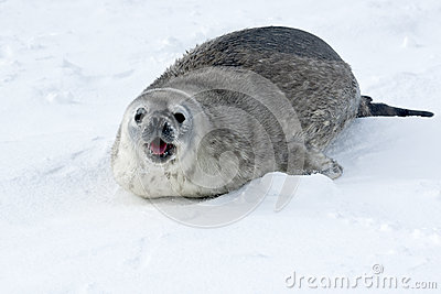 Young Weddell seals calling  female on the snow.