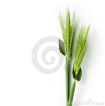 Free Young Wheat Stock Photography - 23322452