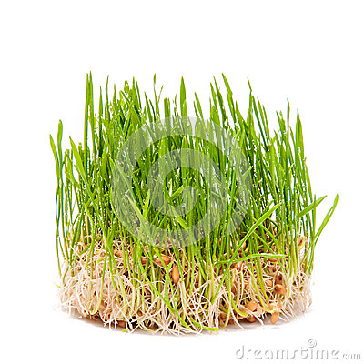 Free Young Wheat Green Sprouts On A White Background Stock Photo - 75152600