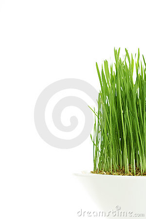 Free Young Wheatgrass Royalty Free Stock Photography - 7451867