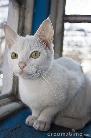 Young white cat