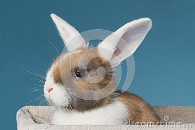 Young white-eared mini-lop rabbit  in the studio