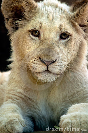 Young White Lion Cub