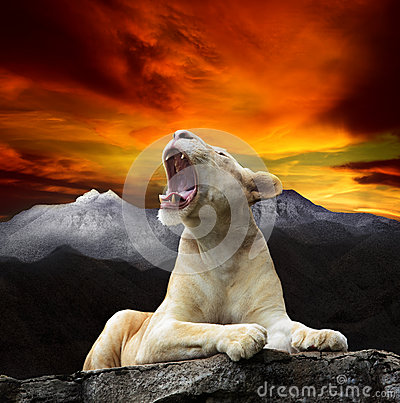 Free Young White Lion,lioness Lying And Roar On Mountain Cliff Against Beautiful Dusky Sky Use For King Of Wild ,wilderness ,leader In Stock Photography - 41765202