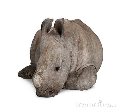 Free Young White Rhinoceros Against White Background Royalty Free Stock Photos - 12246658