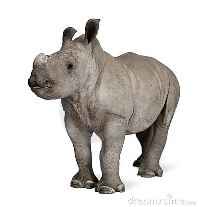 Free Young White Rhinoceros Against White Background Stock Photography - 12246902