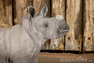 Young White Rhinoceros or Square-lipped rhinoceros