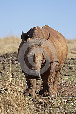 Young White Rhinocerus