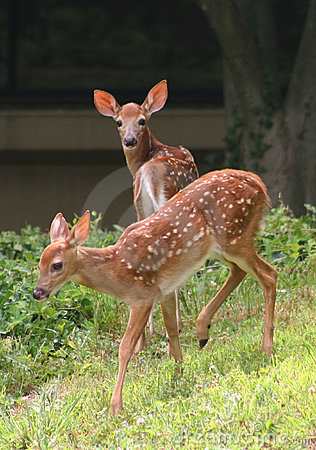 Free Young Whitetail Deer Royalty Free Stock Images - 6978709