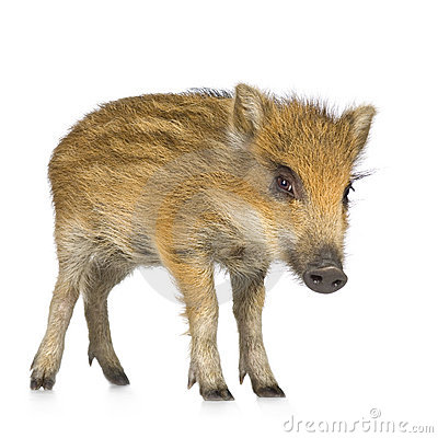 Young wild boar ( 7 weeks )